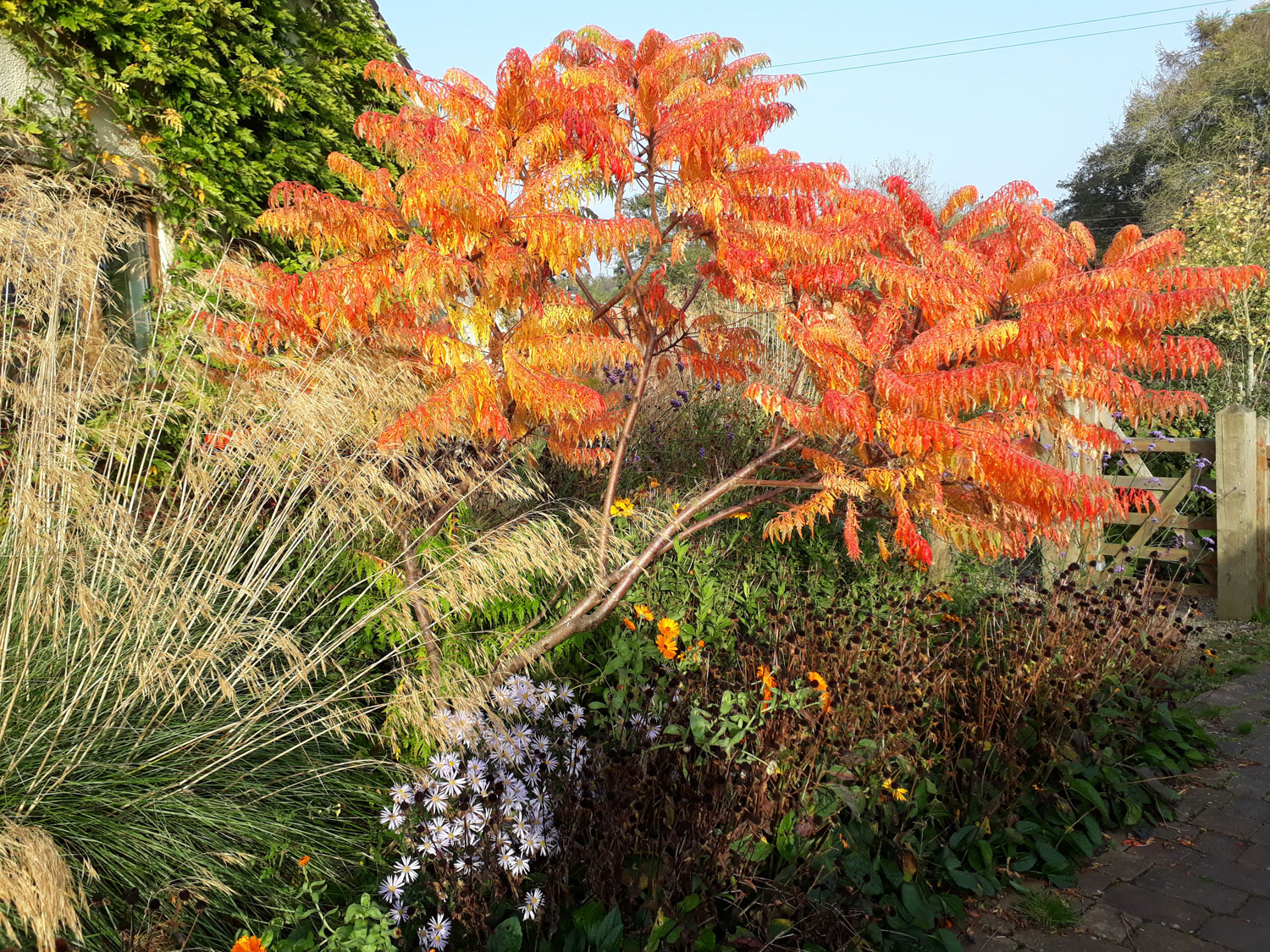 Garden featuring large sumac in autumn colours in foreground